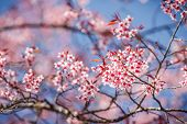Постер, плакат: Beautiful cherry blossoms