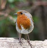 stock photo of red robin  - Robin bird perched on fence side profile - JPG