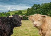 foto of highland-cattle  - A Photograph Of Highland Longhorn Cattle In A Field - JPG