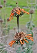foto of dagga  - Close up of Leonotis leonurus Wild Dagga Plant