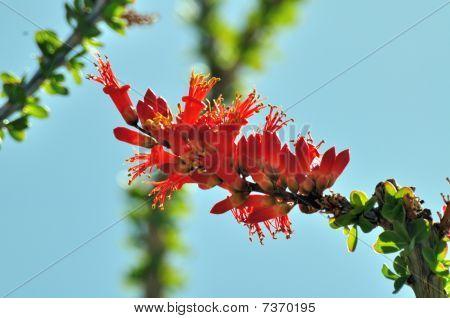 Florescência Ocotillo