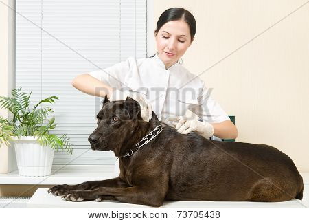 Veterinarian makes an injection dog breed Staffordshire Terrier