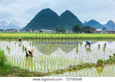 Vietnam Farmer Growth Rice On The Field