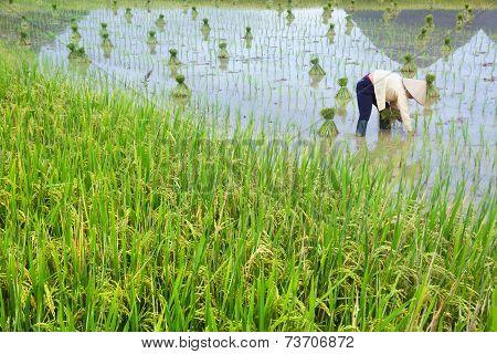 Rice Field Of Vietnam Farmer