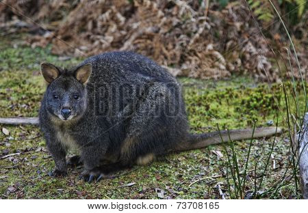 Wallaby  Ortasmanian Pademelon
