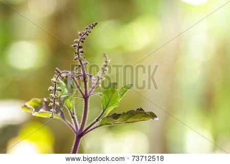 Closeup Ocimum Sanctum With Blooming In Garden,holy Basil.