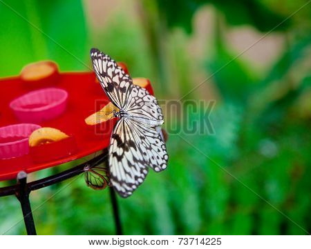 Paper Kite Butterfly Feeding