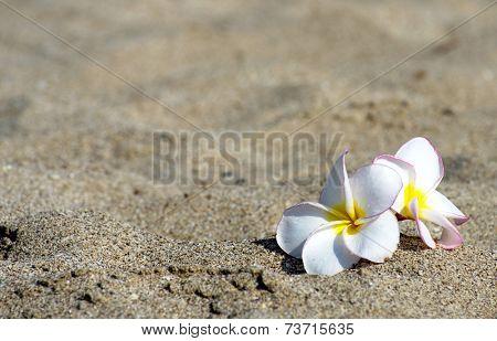 flowers Plumeria alba on the sandy