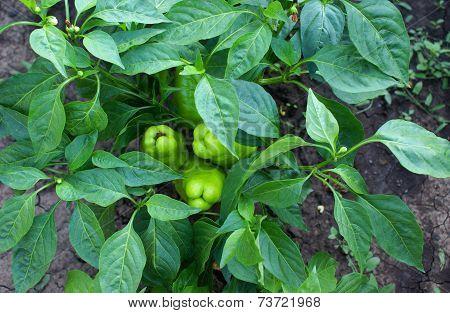 Green capsicum growing in the garden.