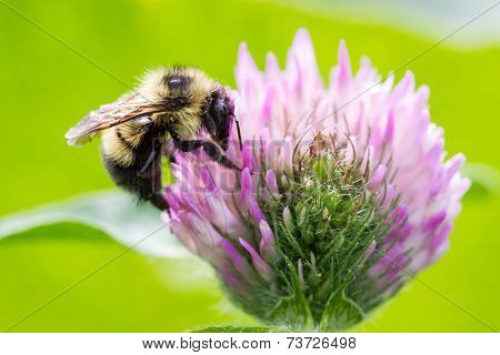 Bumblebee Close Up