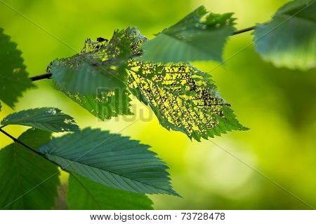 Green leaves eaten by insect, with smooth lush green background