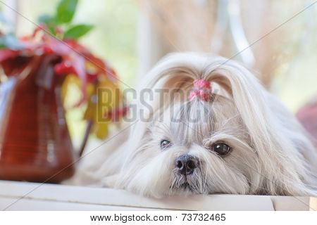 Shih tzu dog indoors portrait.