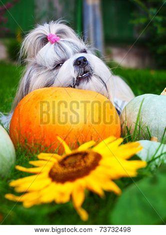 Shih tzu dog bites pumpkin.