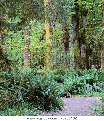 Olympic National Park Mossy Rainforest and Trail, Washington State USA