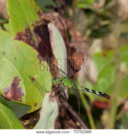 Leafy Predator