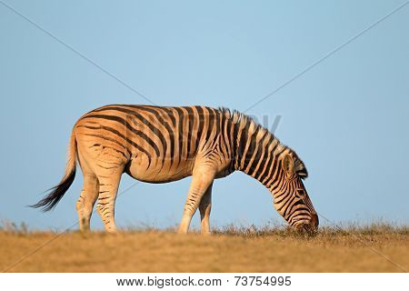 A plains (Burchells) Zebra (Equus burchelli) against a blue sky, South Africa