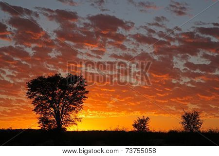 Sunset with silhouetted African Acacia trees, Kalahari desert, South Africa