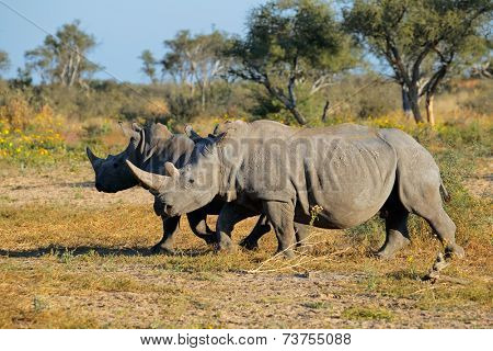 Two white (square-lipped) rhinoceros (Ceratotherium simum) in natural habitat, South Africa