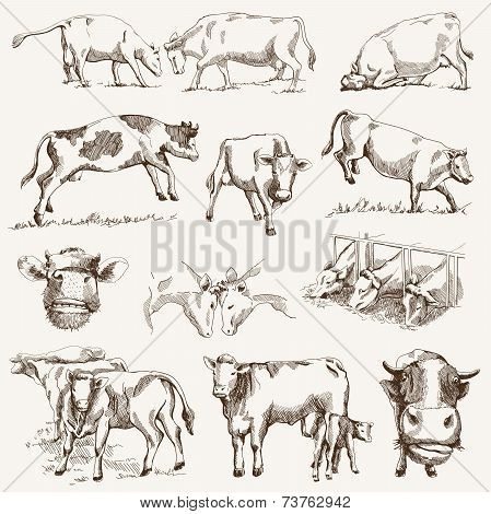 cow. animal husbandry