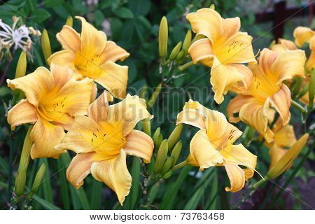 Hemerocallis flowers around.
