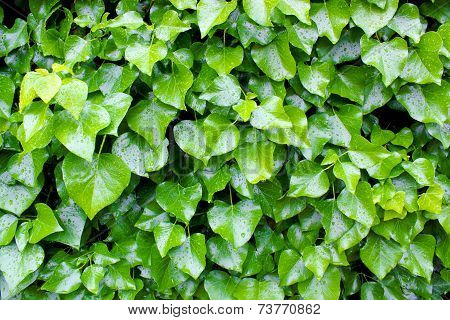 Wall Of Wet Leaves