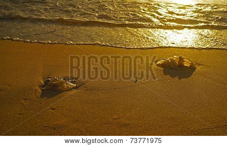 Two Dead Jelly-fish On The Sea Shore Sand