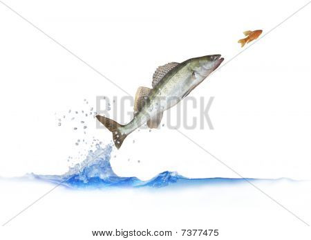 Jumping Out For Fish Zander