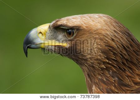Close-up Of Golden Eagle Head Looking Left