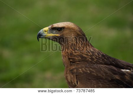 Close-up Of Golden Eagle In Grassy Field