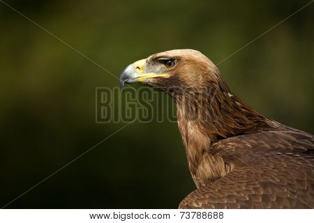 Close-up Of Sunlit Golden Eagle Against Trees