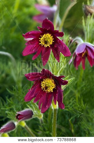 Pasque Flower (or Pasqueflower), Wind Flower, Prairie Crocus, Easter Flower, And Meadow Anemone