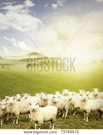 Sheep standing in paddock facing camera, New Zealand