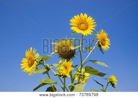 The bouquet of sunflower isolated on blue sky background