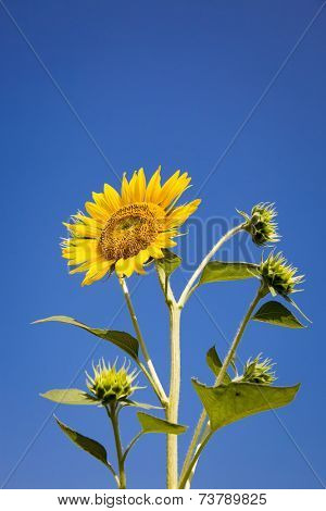 sunflower and buds isolated on the blue sky background