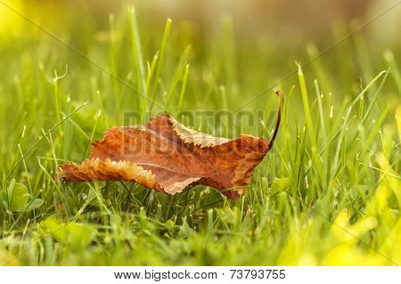 Lonely Leaves On Grass