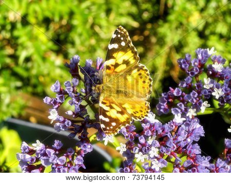 Painted Lady Butterfly 2