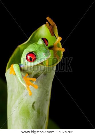 Red Eyed Frog In Natural Environment