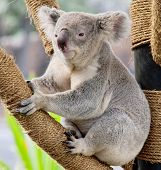 picture of zoo  - A Wild Koala Relaxing at the Zoo - JPG