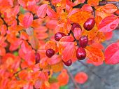 stock photo of barberry  - Barberry bush with red berries and leaves in fall.