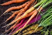 pic of carrot  - bunch of organic carrots laying on fertile soil at a home garden - JPG