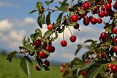 image of cherry trees  - cherry tree - individual cherries on the tree ** Note: Shallow depth of field - JPG