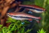 picture of freshwater fish  - Tropical freshwater  aquarium fish from genus Nannostomus - JPG