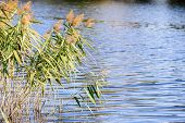 pic of bulrushes  - Bulrush leaves and flowers close to the lake in autumn - JPG