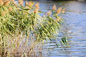foto of bulrushes  - Bulrush leaves and flowers close to the lake in autumn - JPG
