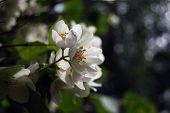 picture of jasmine  - Blooming jasmine tree - JPG