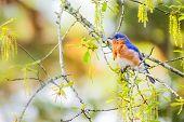pic of bluebird  - Male Eastern bluebird sitting on live oak tree branch in spring  - JPG