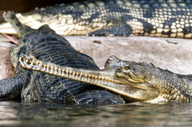foto of crocodilian  - Gharials  - JPG