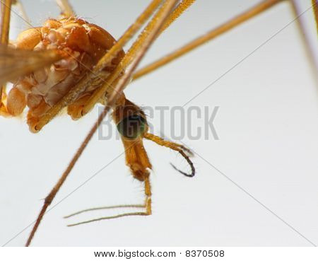 Macro of a Crane Fly / Mosquito