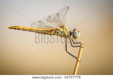 dragonfly perched on a branch, detail of body and eyes