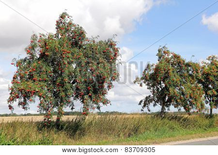 Rowan At Roadside, Sorbus Aucuparia